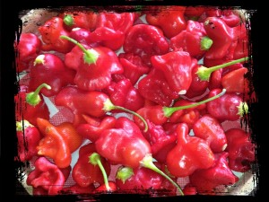 Christmas Bell Peppers